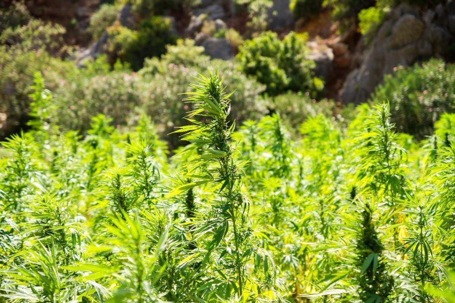 Cannabisfeld einer marokkanischen Landrasse im Atlasgebirge