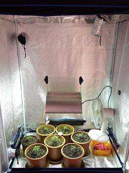 Junge Hanfpflanzen in einer Growbox