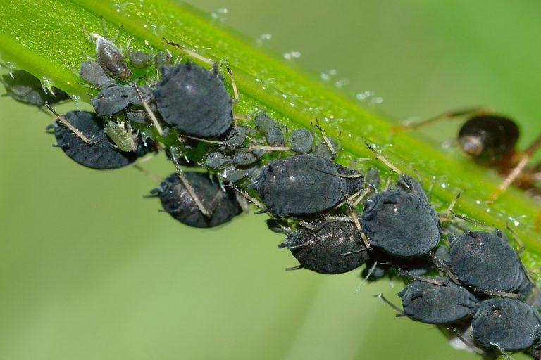 Blattläuse auf einer Hanfpflanze